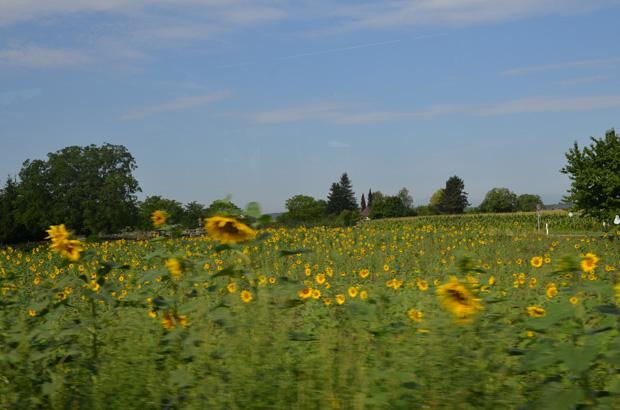 Wunderschöne Sonnenblumenfelder.